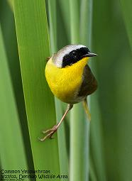 213 056 Common Yellowthroat 06