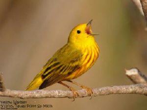 Yellow Warbler (c) Jim Livaudais