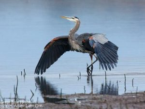 028 19 Great Blue Heron 1907