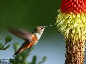 085 348 Rufous Hummingbird 7048