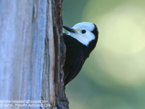 This 2015 Conservation Science Stamp will feature the stunning White-headed Woodpecker!