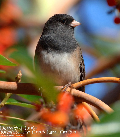 Oregon Junco_Photo (C) Jim Livaudais
