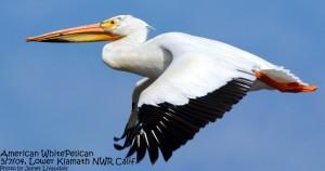 American White Pelican (C) Jim Livaudais