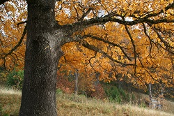 oak_foreground