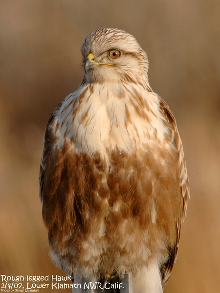Rough-legged Hawk (C) Jim Livaudais