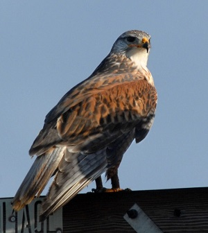 035 193 Ferruginous Hawk 4117
