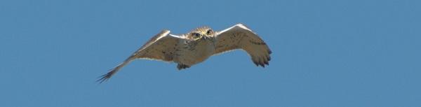 035 193 Ferruginous Hawk 6198