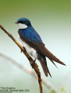 Tree Swallow (c) Jim Livaudais
