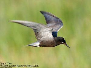 Black Tern (c) Jim Livaudais