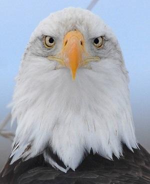 Bald Eagle (C) Jim Livaudais