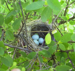Lazuli Bunting nest with eggs cropped (72ppi 4x)