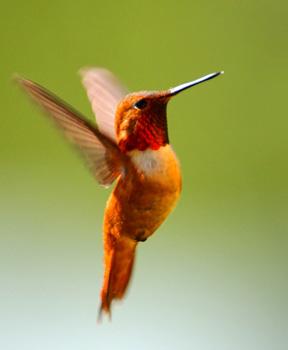 Rufous Hummingbird (c) Jim Livaudais cropped flipped (72ppi 4x)