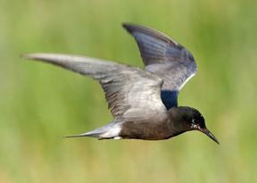 black tern (72ppi 4x)