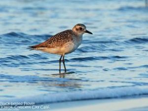 Black-bellied Plover (c) Jim Livaudais