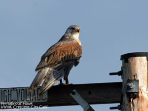 035 193 Ferruginous Hawk 72 dpi