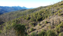 Quartz Fire in 2013, 12 years after the fire, with a healthy shrub understory and standing dead trees.  Photo copyright Jaime Stephens.