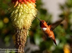 Rufus Hummingbird (c) Jim Livaudais 2002