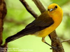 Prothonotary Warbler (c) Jim Livaudais 2015