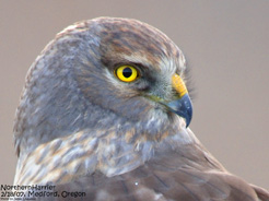 Northern Harrier (c) Jim Livaudias 2015