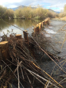 Bird survey location at a post-assisted woody structure (PAWS) site on the Scott River, CA. Beavers have added chewed stems to the structure, visible in the lower part of the photo. (c)  Scott River Watershed Council 2015