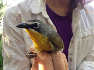Yellow-breasted Chat with a new geolocator (c) KBO 2015