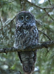Great Gray Owl (c) 2016 Jim Lividais