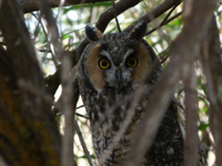 Long-eared Owl at Malheur NWR by Harry Fuller (c) 2016