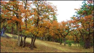 oaks from flyer 72ppi