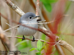 180 04 Blue gray Gnatcatcher 0079 72ppi