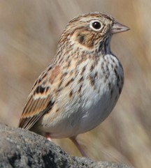 Oregon Vesper Sparrow (c) K Schneck no caption