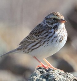 Savannah Sparrow(c)Shenck copped nocaption