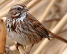 Song Sparrow cropped (c) Jim Livaudais (72ppi 3x)