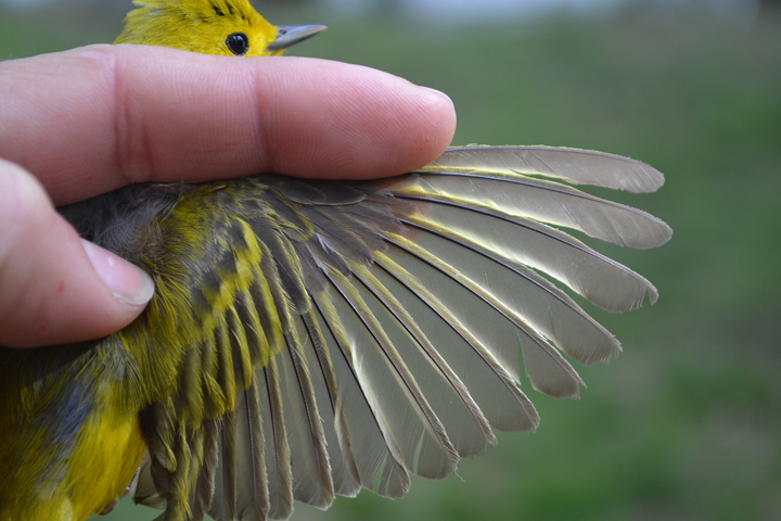 Feather wear on a Yellow Warbler.